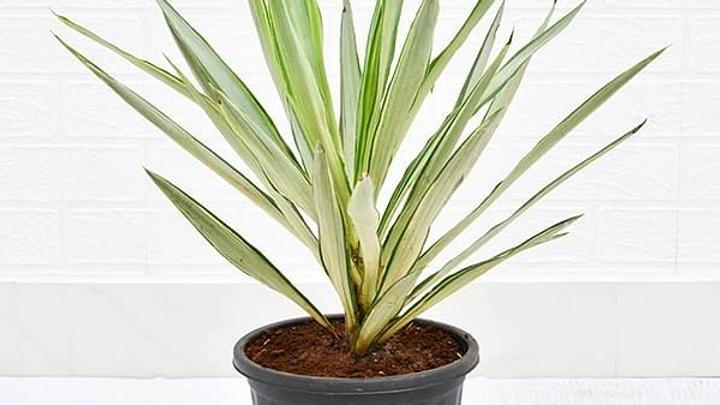 Yucca Plant1pc