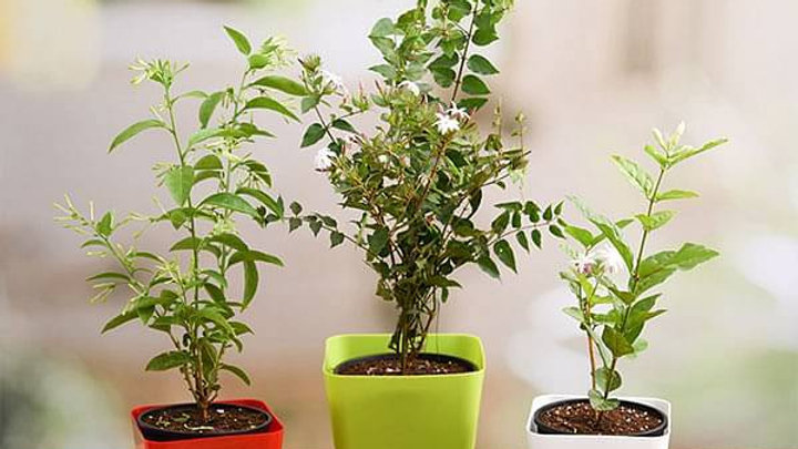 Plant Pack For Healthy Home3pc