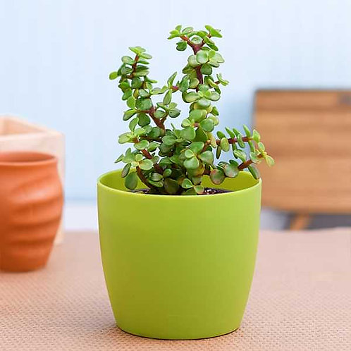 Jade Plant +1 day delivery