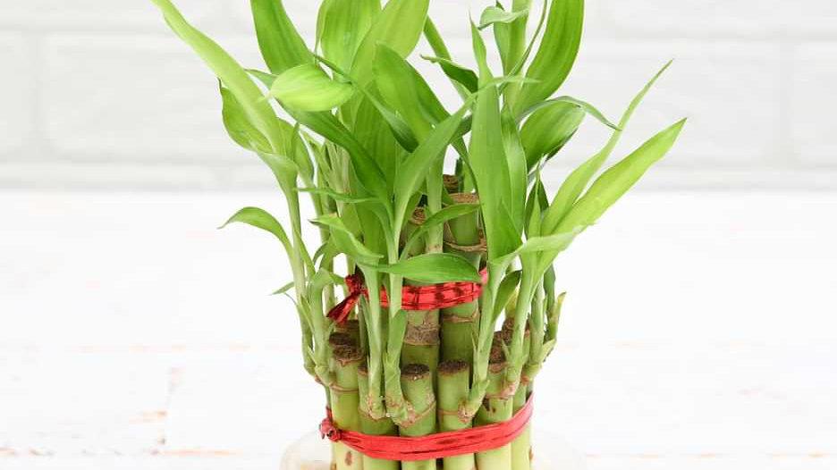 Bamboo Plant1pc