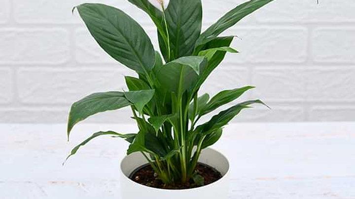 Peace lily Plant1pc