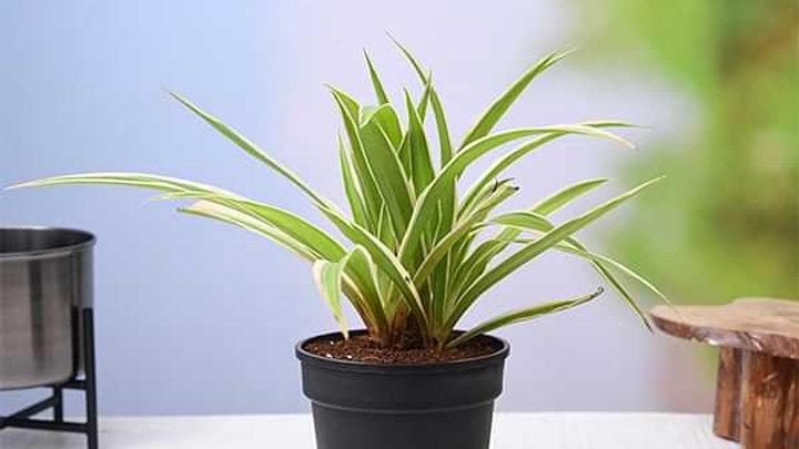 Spider Plant1pc