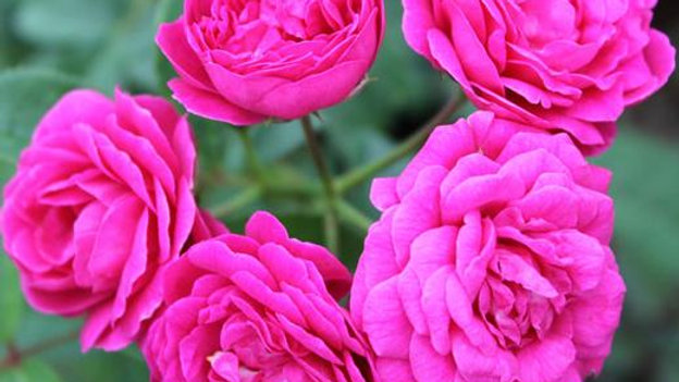 Miniature Rose Button Rose (Any Color) - Plant1pc