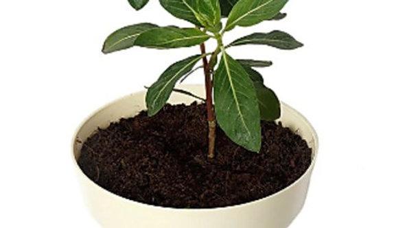 Sadabhar Plant1pc