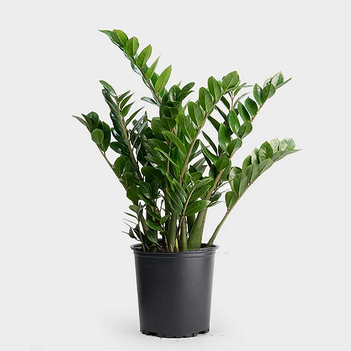 ZZ Plant with black pot +1 day delivery
