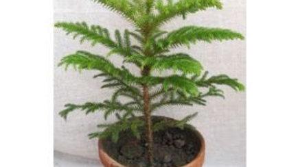 Araucaria Plant with Pot1pc