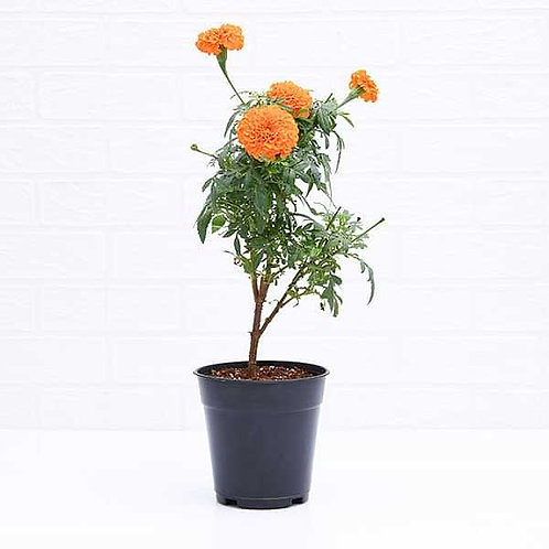 Marigold(Genda) Plant