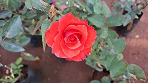 Desi Rose Plant1pc