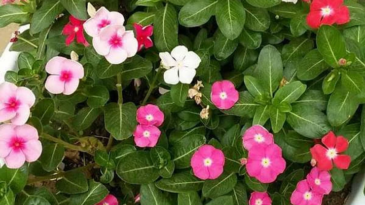 Vinca Catharanthus roseus (Any Color) - Plant1pc