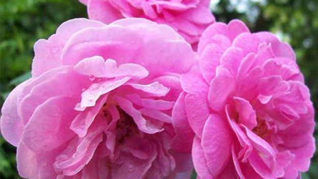 Damascus Rose, Scented Rose (Any Color) - Plant1pc