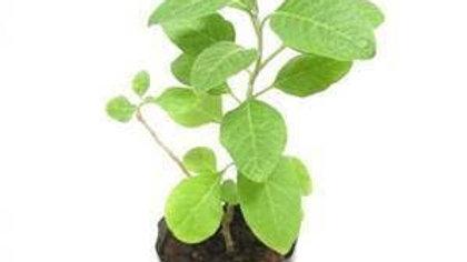 Bel patra- big Plant1pc