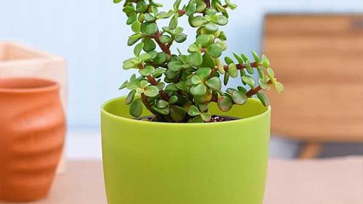 Jade Plant1pc