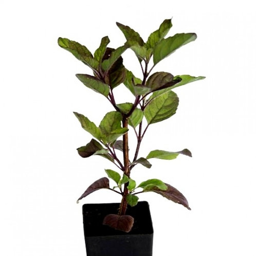Tulsi Plant +1 day delivery