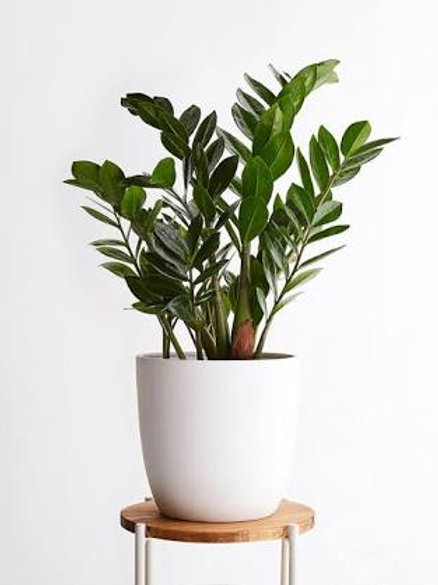 ZZ Plant with white designer pot +1 day delivery