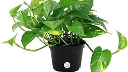 Devil's ivy Plant1pc