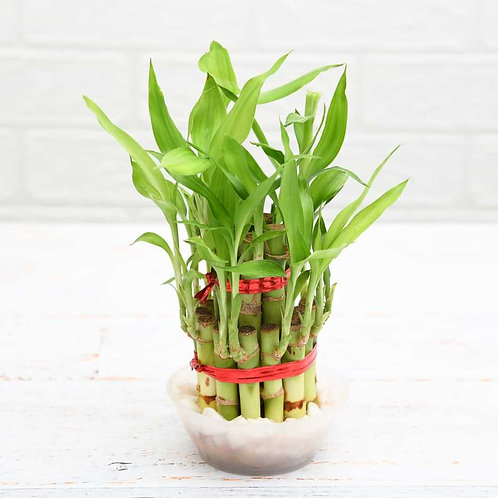 Bamboo Plant +1 day delivery