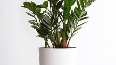ZZ Plant with white designer pot1pc