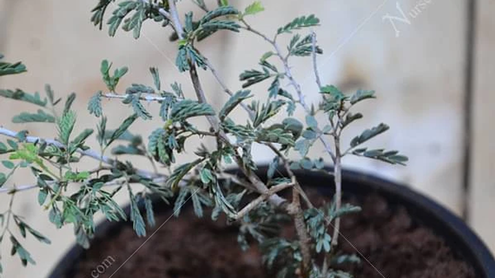 Shami Plant1pc