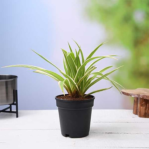 Spider Plant +1 day delivery