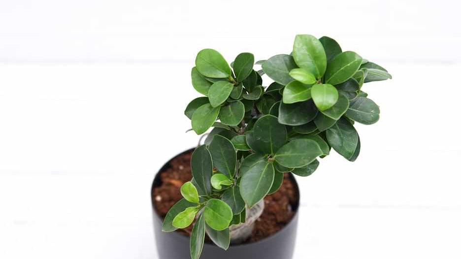 Ficus bonsai Plant1pc