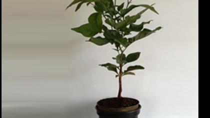 Bel patra Plant1pc