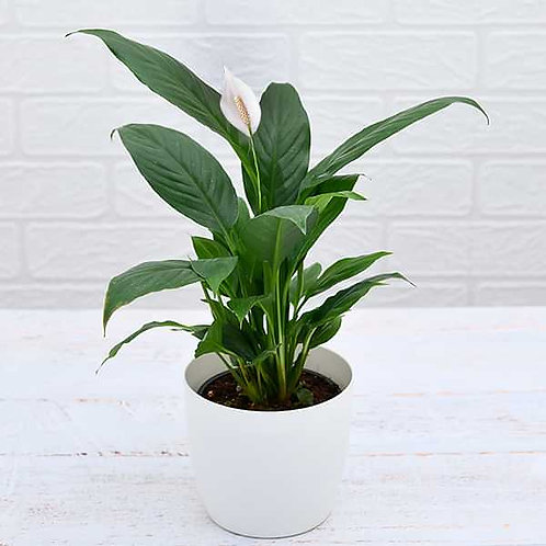 Peace lily Plant +1 day delivery