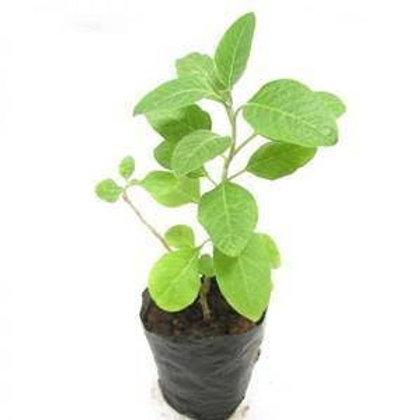 Bel patra- big Plant +1 day delivery
