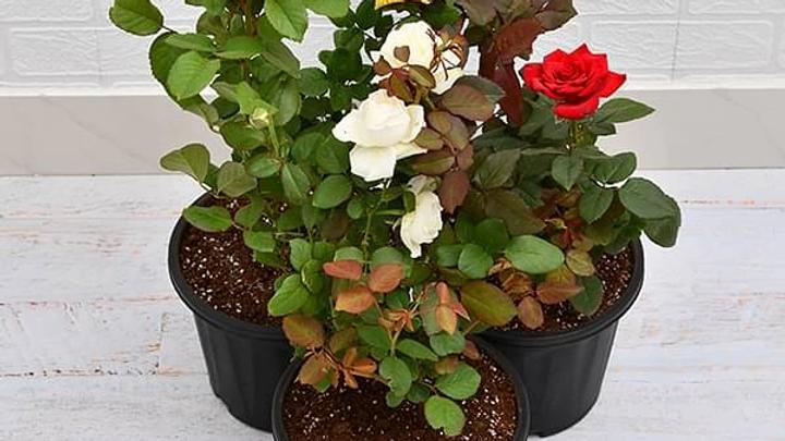 Set of 3 Love Rose Plant pack3pc