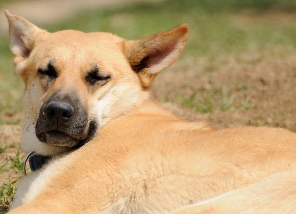 Idős kutya májának védelme gyógynövényekkel