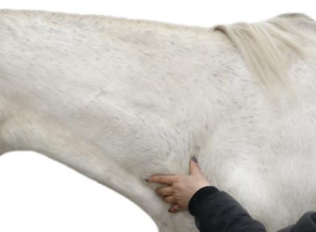 Állapotfelmérés lovakban a Hagyományos Kínai Állatorvoslás nyomán
