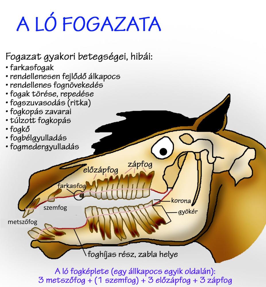 Durva, mi okozza a fogszuvasodást | Well&fit