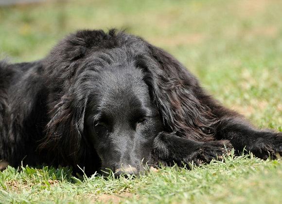 Idős kutyánál gyógynövényes méregtelenítés