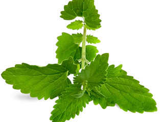 Lemon Balm for Postpartum - Herb from the mint family eases pain