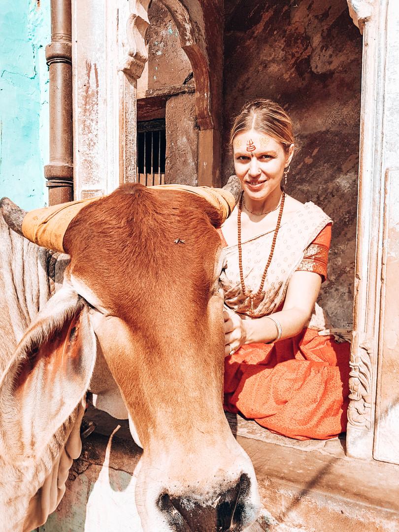 Vrindavan cow, 2018