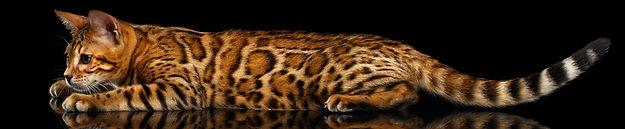 Queen Bengal Cat black spotted