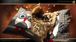 Bengal Cat Katze Zucht Cattery von Falkenstein DE BY - Franz von Falkenstein
