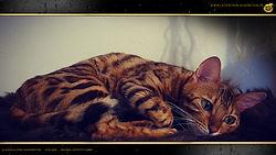 Gold Bengal Cat Katze - Angela von Falkenstein DE BY - 1080p