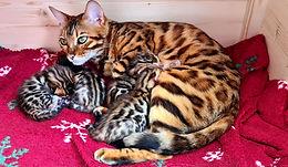 Bengal Cat Katze Zucht Cattery von Falkenstein DE BY - Angela von Falkenstein mit ihren 4 Kitten