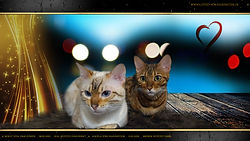Snow Bengal & Brown Bengal Cat Katze - Horst von Dimi Power & Angela von Falkenstein DE BY - 1080p