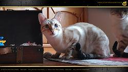 Snow Bengal Cat Katze - Ursula von Dimi Power by Falkenstein DE BY - 1080p
