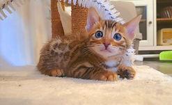 Bengal Cat Katze Zucht Cattery von Falkenstein DE BY - Henry von Falkenstein