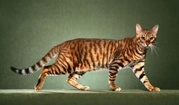 toyger cat.jpg