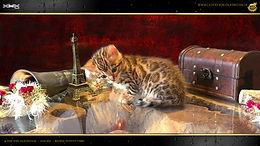 Bengal Cat Katze Zucht Cattery von Falkenstein DE BY - Sissi von Falkenstein