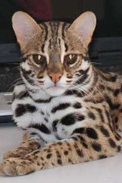 asiatische leopardenkatze - asia leopard cat 2020