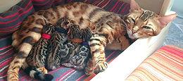 Bengal Cat Katze Zucht Cattery von Falkenstein DE BY - Angela von Falkenstein mit ihren Kitten