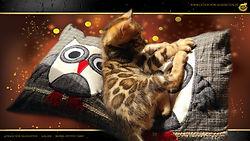 Bengal Kitten Cat Katze - Franz von Falkenstein DE BY - 1080p - A Litter