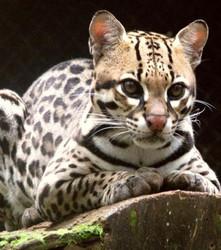 die-bengalkatze-sieht-einem-leoparden