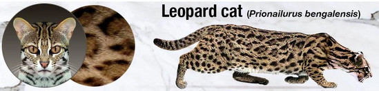 leopard cat - bengalensis