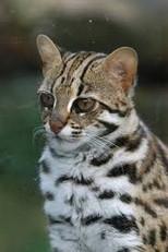 ALC asia leopard cat 2020
