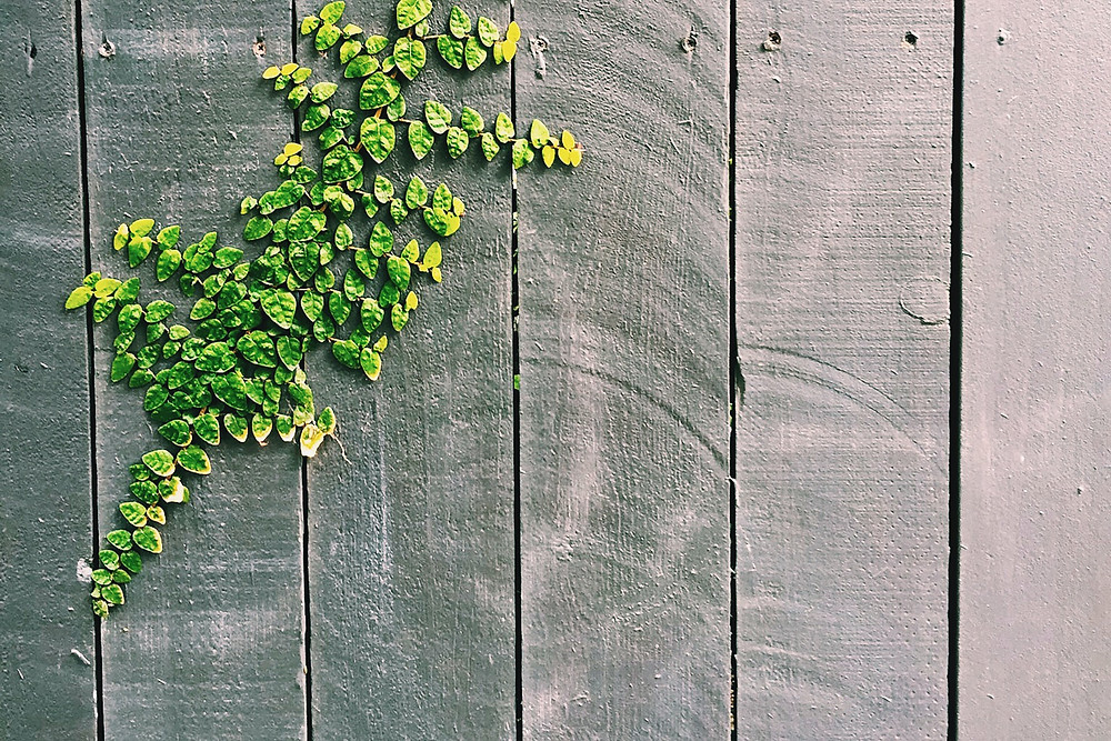 Green leaves on a gray wooden fence